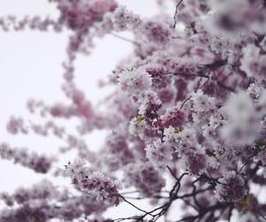 sakura, pink, and flowers image