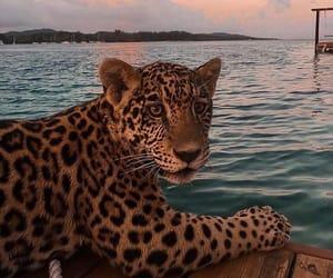 animal, jaguar, and cute image