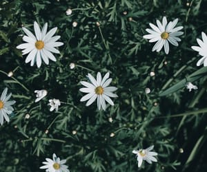 daisies, flowers, and nature photography image
