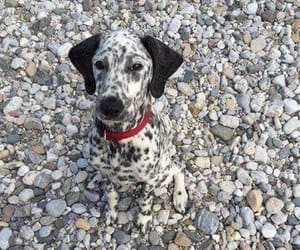 dog and dalmatian image