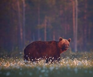 animals, bear, and photography image