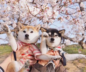 cherry blossom, couple, and dogs image