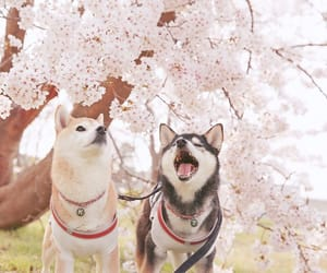 cherry blossom, dogs, and japan image