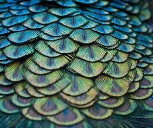 feathers, peacock, and reflecting image