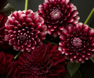 burgundy, floral, and deep red image
