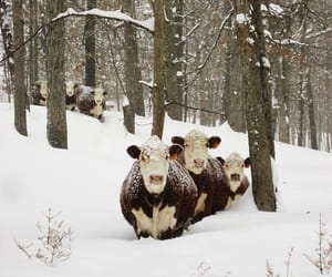 animals, snow, and cows image