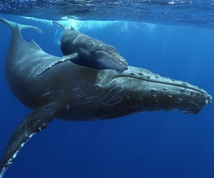 baby, blue, and calf image