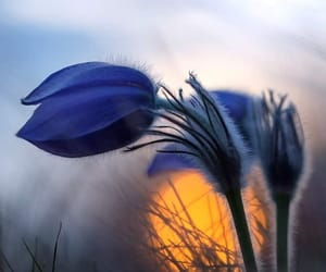 blossom, flower, and blue image