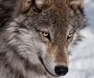wolf, animals, and photography image