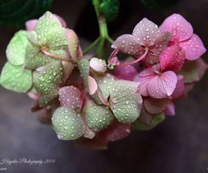 flowers, pink, and raindrops image