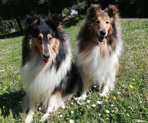 dogs, rough collie, and cute image