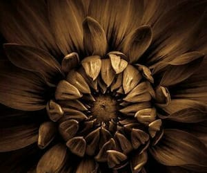 dark brown, flower, and nature image