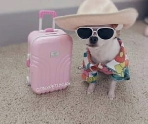 chihuahua, suitcase, and sunglasses image
