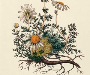 botanical, flowers, and daisy image