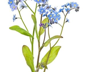 forget-me-not image