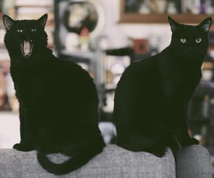 animals, black cat, and black cats image