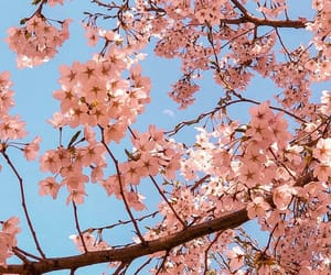 pink, sakura, and aesthetic image