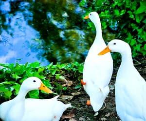 animals, ducks, and birds image
