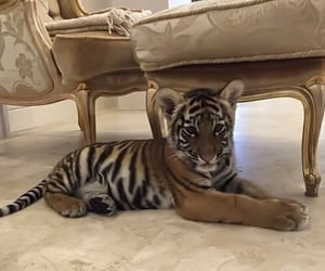 animal, tiger, and luxury image
