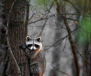 animal, forest, and raccoon image