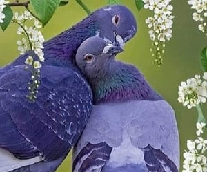 birds, pigeons, and love image