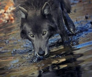 animals, black, and wolf image