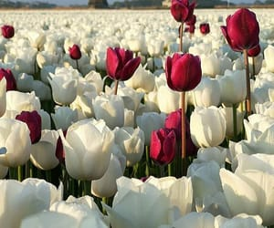 colors, flowers, and tulips image