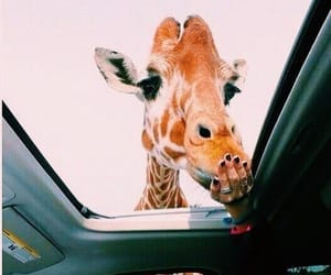 animal, giraffe, and car image