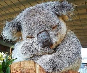 nature, animal, and Koala image