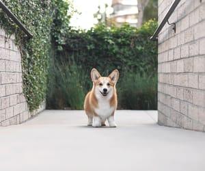 animals, corgi, and cute image