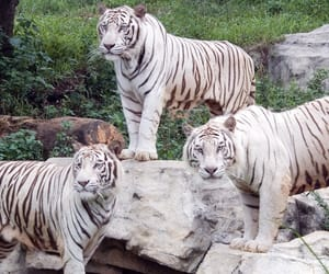 tiger and white tiger image