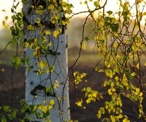 photography and birch tree image