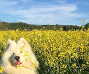 dog, puppy, and Samoyed image