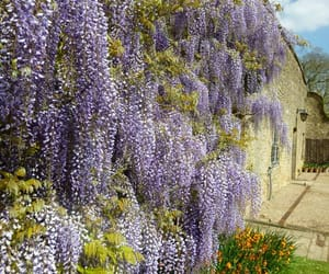 flowers, garden, and wisteria image
