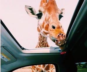 giraffe, animal, and car image