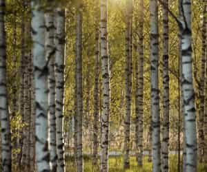 birch, forest, and light image