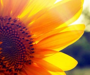 article, sunflower, and love image