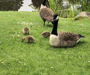 animals, ducks, and grass image