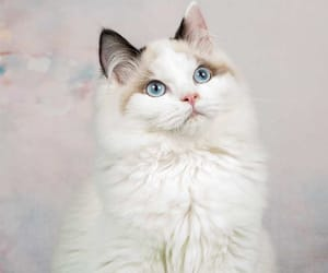 fluffy, ragdoll cat, and cute image
