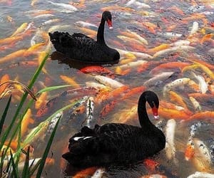black swan, Swan, and fish image