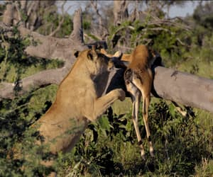 gif and lioness image