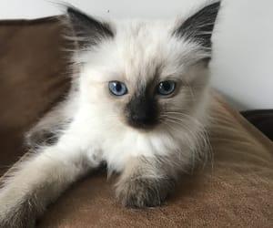 beautiful, blue eyes, and ragdoll image