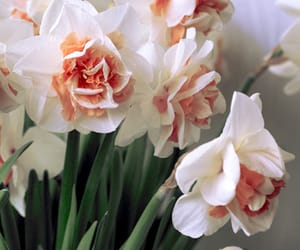 daffodils, flowers, and narcissus image