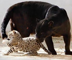 animal, baby, and jaguar image