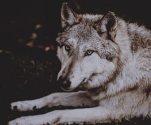 animal, gif, and wolves image