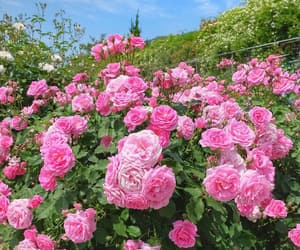 aesthetic, rose, and spring image