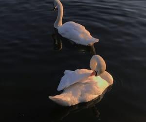 animal, Swan, and aesthetic image