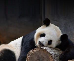 Animales, ternura, and oso panda image
