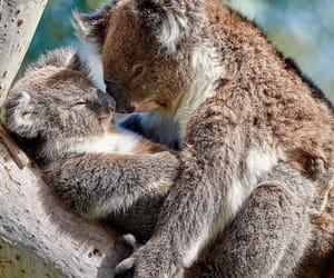 animals, australia, and Koala image
