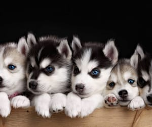 animals, dogs, and huskies image